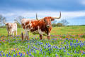 bluebonnets, texas bluebonnets, texas wildflowers,  indian paintbrush, texas hill country, wildflowers, texas, longhorns, texas hill country, texas longhorns, cattle, herd, steers, horns, hill country