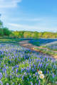 texas bluebonnets, poppies, wildflowers, texas hill country, texas, blue bonnets,bluebonnets, hill country, shadows, light, road, mesquite, green, blue, llano, sun, shadows, light, trees, curved road,