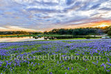 Bluebonnets, bluebonnet, park, water, reflections, colors, oranges, pinks, reds, sky, colorful, blue bonnets, wildflowers, wildflower, Colorado River, landscapes, landscape, water, Texas flowers, Texa