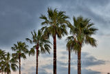 Gulf Coast, padre island palms, queen palms, southern us, moody skies, Texas, , gulf cost images, Texas beaches