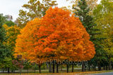 sugar maples, fall, autumn, trees, fall color, fall scenery, fall trees, maples, foliage, leaves, sun, yellow, orange, reds, colorful