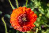 A Red Corn Poppy Macro
