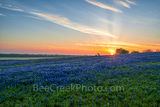 bluebonnet images, bluebonnet pictures, Texas Bluebonnets, blue bonnet sunrise, texas, bluebonnets, Ennis, sunset, pasture, fileld of bluebonnets, ranch, photos from texas, blue flowers, texas landsca