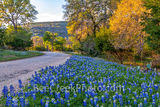 bluebonnets, texas bluebonnets, bluebonnet, blue bonnets, wildflowers, texas wildflowers, texas hill country, llano, backroads, hill country, golden glow, sun, road, country road, bluebonnets in texas