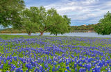 Bluebonnets, river, texas hill country, hill country, spring, wildflowers, mesquite, tree, green, water, Texas bluebonnet, lupine, state flower, us, american, springtime, flowers, Texas bluebonnet lan