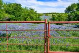 bluebonnets, bluebonnet at the gate, texas, Ennis, road, ranch, wildflowers, image of bluebonnets, pictures of bluebonnets, lupines