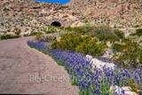Bluebonnets, tunnel, Rio Grande Village overlook, big bend bluebonnets, images of bluebonnets, texas bluebonnets, texas wildflowers, Big bend, Big bend national park,  bluebonnet, lupine, Chiso bluebo
