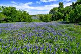 Texas bluebonnets, bluebonnet, hill, beyond, blue sky, clouds, nice field of bluebonnets, wildflowers