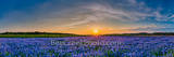 Bluebonnets, sunset, landscape, Austin tx, field, flowers, wildflowers,, texas bluebonnets, bluebonnets in texas, texas, field of bluebonnets, blue bells, clouds, panorama, panos