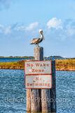 Brown Pelican Perch