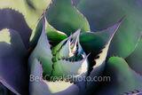 agave, desert, desert plant, century plant, art, fineart, plant, leaves, spines, thorns, sharp spines, green, red spines, fine art, succulent plant, rosette shape, flower spire, texas hill country,