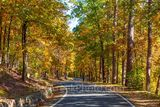 fall, autumn, yellow, orange, pine, cypress, trees, shades, yellow, orange, rust, colors, Tower Mountain, road, arkansas, national, forest, october, curves, sun light, tree line road, pines, maples, f