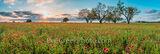 Firewheels Wildflowers at Sunset Pano