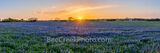 Golden Glow over Bluebonnet Landscape Pano