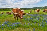 Longhorns,  bluebonnets, herd, wildflowers, horns, field, cattle, hill country, texas, images of texas