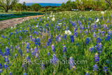 texas bluebonnets, bluebonnet, bluebonnets, texas wildflowers, poppies, wildflowers, texas hill country, hill country, texas, images of bluebonnets, images of wildflowers, dirt road, ranch road, late