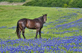horse, bluebonnets, horse, Texas Bluebonnets, field of bluebonnets, spring, green grass, pasture, springtime, wildflowers, Ennis