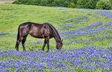 horse, bluebonnets, wildflowers, Texas Bluebonnets, field of bluebonnets, spring, green grass, grazing,  pasture, lupine, spring time