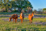 bluebonnet, blue blonnets , field, horses, rural, scene, landscape, wildflowers, , sun, field