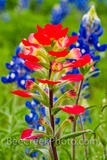Indian Paintbrush Wildflower Vertical