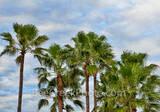 palm trees, cloudy skies, texas, beach, tropical, island, trees, south padre, south texas, Gulf Coast, padre island palms, queen palms, southern us, moody skies, Texas, coastal, palms, gulf of mexico