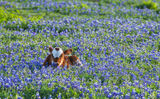 Longhorn calf, cattel, bluebonnets, Texas southwest, wildflowers, field, symbol, docil, baby, field of bluebonnets