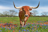 bluebonnets, indian paintbrush, wildflowers, texas wildflowers, longhorns,  texas hill country, cattle, herd, steers, horns, hill country, bluebonnets in the texas hill country, wildflower,