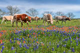 bluebonnets, indian paintbrush, wildflowers, texas wildflowers, longhorns, texas hill country, cattle, herd, steers, horns, hill country, ranch, texas cattle, texas longhorns, blue bonnets, longhorns,