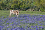 Longhorn, bluebonnets, wildflowers, cattle, docil, ranch, bluebonnet field