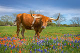 bluebonnets, texas bluebonnets, indian paintbrush, wildflowers, texas wildflowers, longhorns, Longhorns in Wildflowers, texas hill country,  field of bluebonnets. cattle, herd, steers, horns, hill cou
