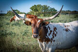 Longhorn on the Ranch