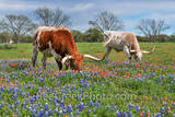 bluebonnets, indian paintbrush, wildflowers, texas wildflowers, longhorns, texas hill country, cattle, herd, steers, horns, hill country, texas longhorns, texas cattle, texas scenery, blue bonnets, te