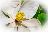 Magnolia Flower Macro