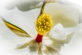 Magnolia Macro 2