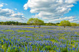 bluebonnets, mesquite trees, ranch, poppies, texas wildflowers, San Antonio, Poteet, Texas, green, blue, field, south texas, images of bluebonnets, pictures of bluebonnets