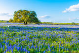 oak tree, bluebonnets, mesquite trees, ranch, poppies, texas wildflowers, San Antonio, Poteet, Texas, green, blue, field, south texas, images of texas, bluebonnets in texas, tx