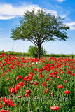 Red Corn Poppies Vertical