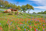 bluebonnets, bluebonnet, texas bluebonnets, indian paintbrush, texas wildflowers, wildflowers, rural, blue sky,  backroads, colorful, red, blue, images of texas, pictures of texas, texas hill country,