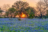 bluebonnets, blue bonnets, sunset, sun rays, iconic, texas scenery, texas hill country, rural, rural texas, texas bluebonnet scenery, texas bluebonnets, texas wildflowers, images of texas, ranch land,