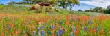 Rural Texas Wildflowers Pano