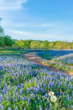texas bluebonnets, poppies, wildflowers, texas hill country, texas, blue bonnets,bluebonnets, hill country, shadows, light, road, mesquite, green, blue, llano, sun, shadows, light, trees, curved road