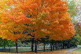 fall, autumn, sugar maple, tree, foliage, leaves, arkansas, colorful, stunning, orange