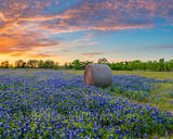 texas bluebonnets, sunset, hay bales, rural, field of bluebonnets, wildflowers, indian paintbrush, orange, pink, sky, colorful sky, sunset colors, landscape