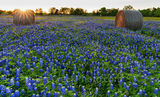 Texas bluebonnets, sunset, trees, rays, hay bales, indian paintbrush, rural texas, field of haybales, wildflowers, farm