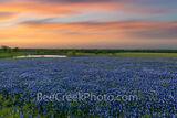 Texas Bluebonnets at Dusk