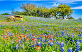 texas wildflowers, wildflowers, wildflower, bluebonnets, bluebonnet, texas bluebonnets, indian paintbrush, texas hill country, flowers, spring, hill country, image of wildflowers, images of bluebonnet