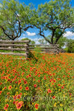 Texas Indian Blankets Along the Fence Vertical