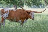 Texas Longhorn - Texas Hill Country