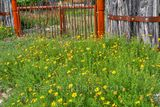 Texas Scenery, Spring, wildflowers, flowers, Texas scene, wrought iron gate, cedar fence, back roads, damiantia wildflowers, spring scenery,  yellow flowers