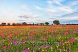 wildflowers, texas wildflowers, wildflowers in texas, bluebonnets, indian paintbrush, yellow daisys, phlox, texas, central texas, texas, floral, flowers, plants, usa, colorfuwildflowers,,backroads, vi